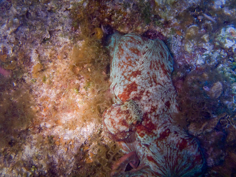 Photo at Low Wall (56):  Octopus