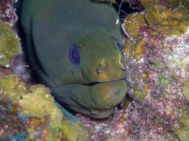 Photo at Black Coral Wall (1):  Green moray