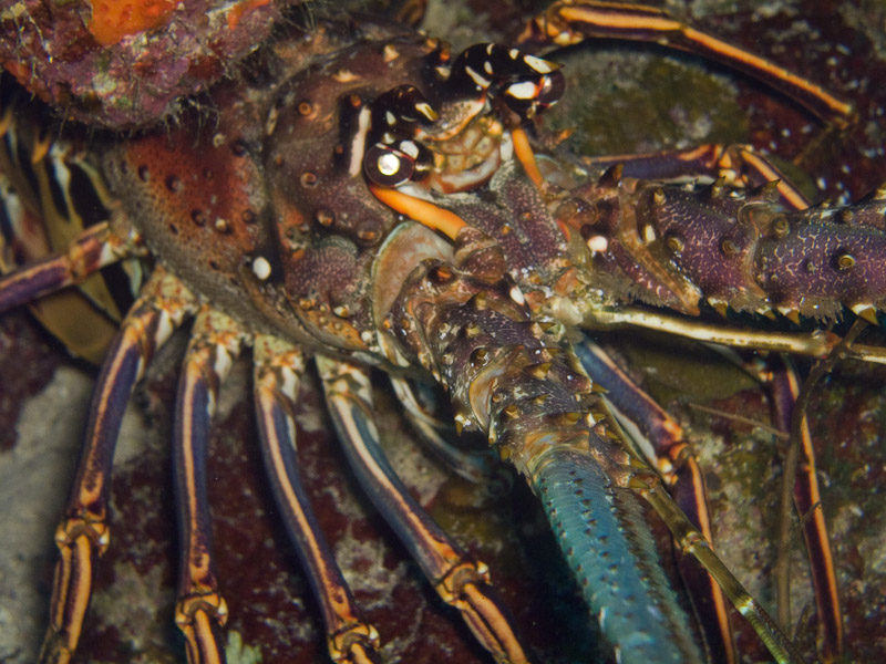 Photo at Black Coral Wall (1):  Lobster