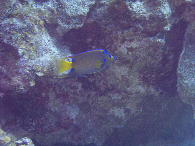 Photo at Black Coral Wall (1):  Queen Angelfish
