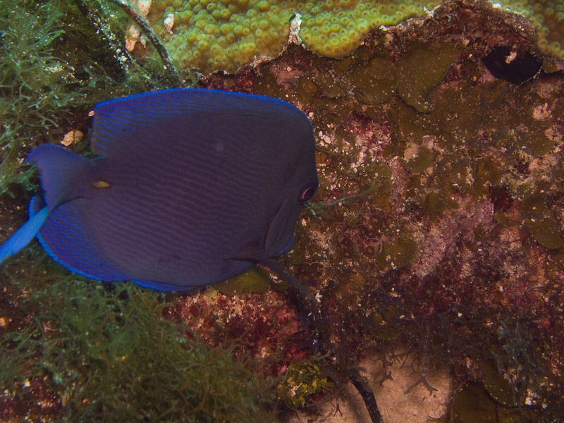 Photo at Black Coral Wall (1):  Blue tang surgeonfish