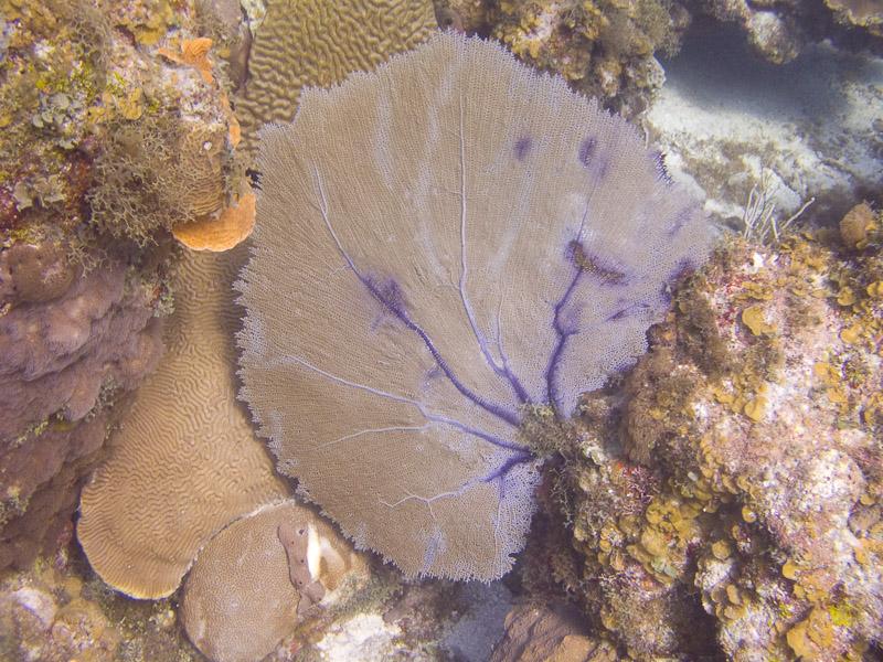 Photo at Angel Fish Peak (51):  Gorgonian Sea Fan