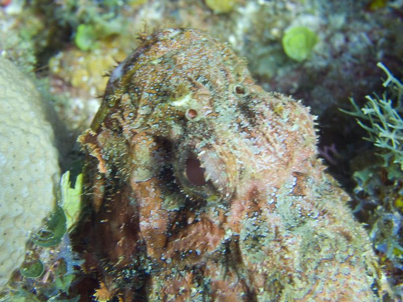 Photo at Angel Fish Peak (51):  Scorpionfish