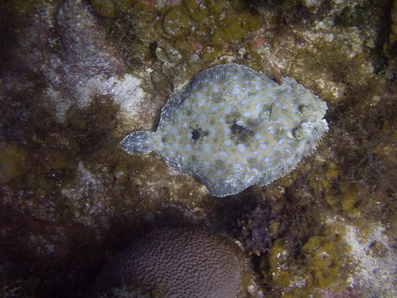 Photo at Angel Fish Peak (51):  Plate fish