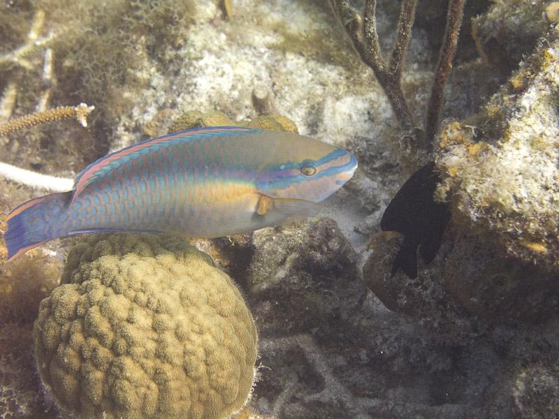 Photo at Muke's Paradise:  Princess parrotfish