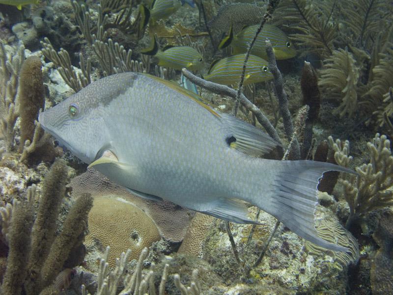 Photo at :  Hogfish