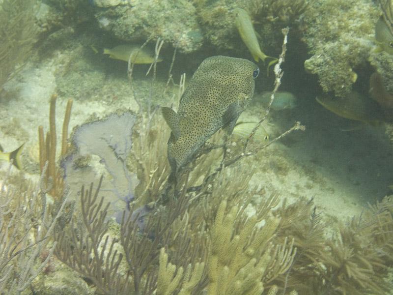 Photo at :  Spot-fin porcupinefish ('Balloonfish')
