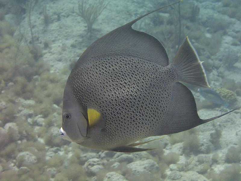 Photo at :  Gray angelfish
