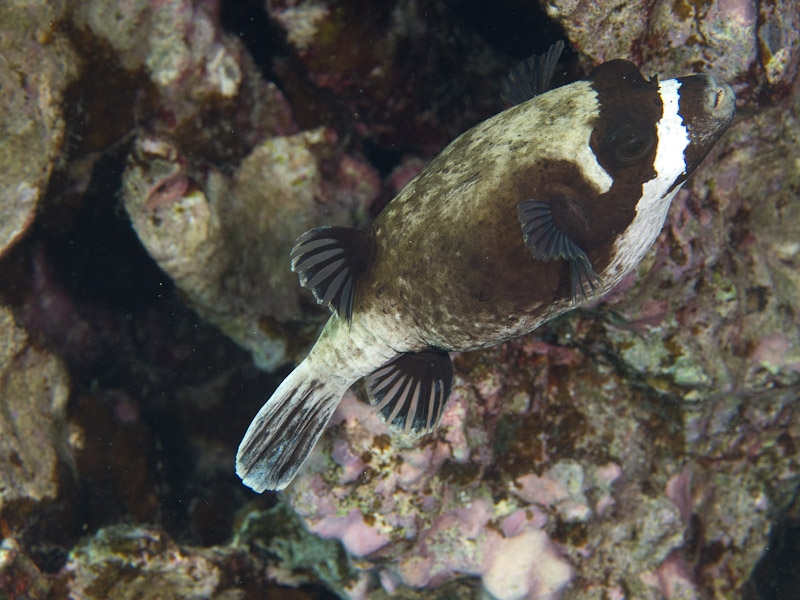 Photo at Islands:  Masked puffer