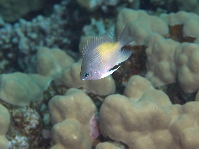 Photo at Islands:  Yellowfin damsel