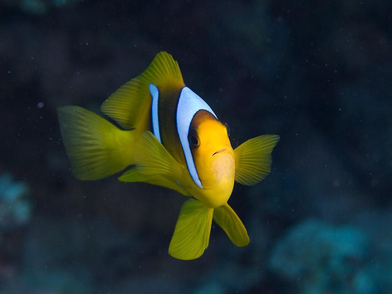 Photo at Islands:  Twoband anemonefish