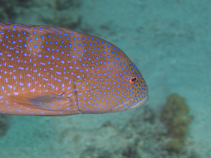 Photo at Islands:  Coral hind