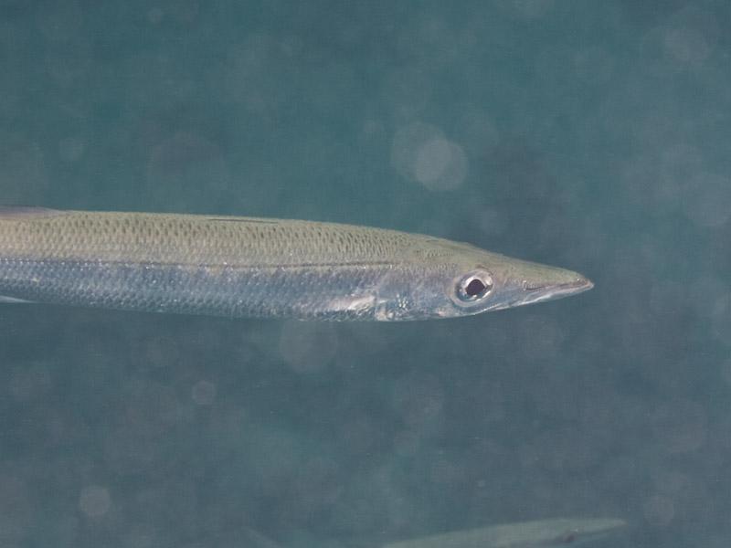 Photo at Islands:  Yellowtail barracuda