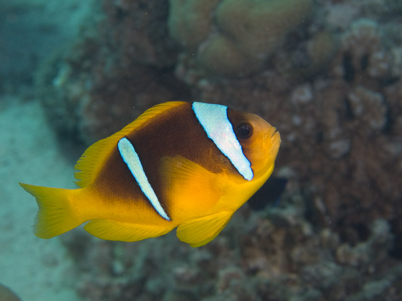 Photo at Canyon Coral Garden:  Twoband anemonefish