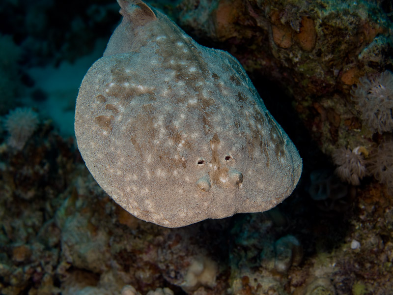 Photo at Canyon Coral Garden:  Marbled electric ray