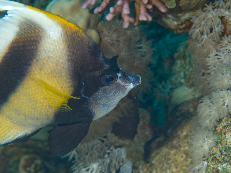Photo at Canyon Coral Garden:  Red Sea bannerfish