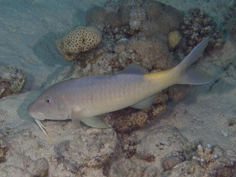 Photo at Canyon Coral Garden:  Goldsaddle goatfish
