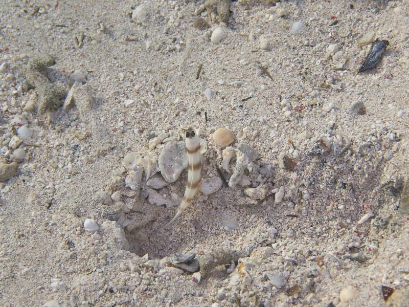 Photo at Canyon Coral Garden:  Steinitz' shrimpgoby