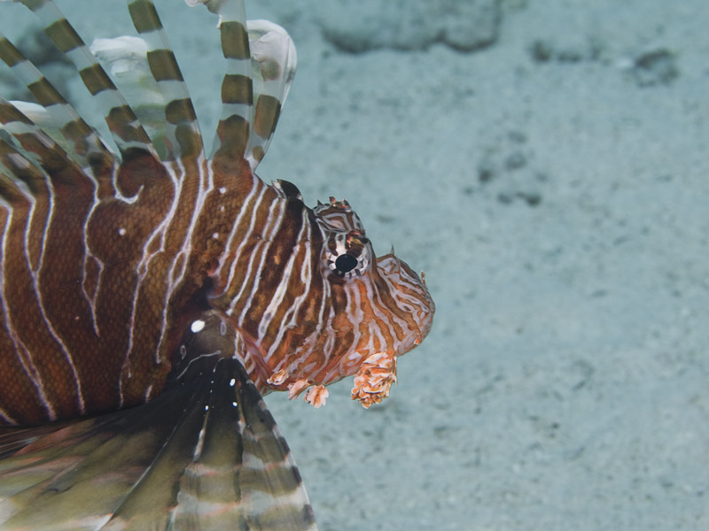 Photo at Canyon:  Devil firefish
