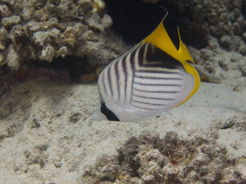 Photo at Canyon:  Threadfin butterflyfish