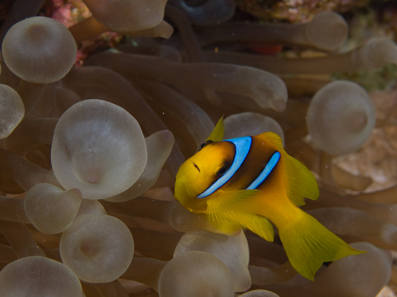 Photo at Els Bells / Blue Hole:  Twoband anemonefish