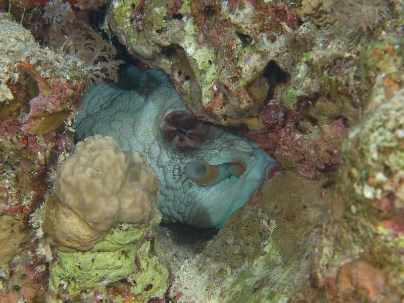Photo at Els Bells / Blue Hole:  Reef Octopus