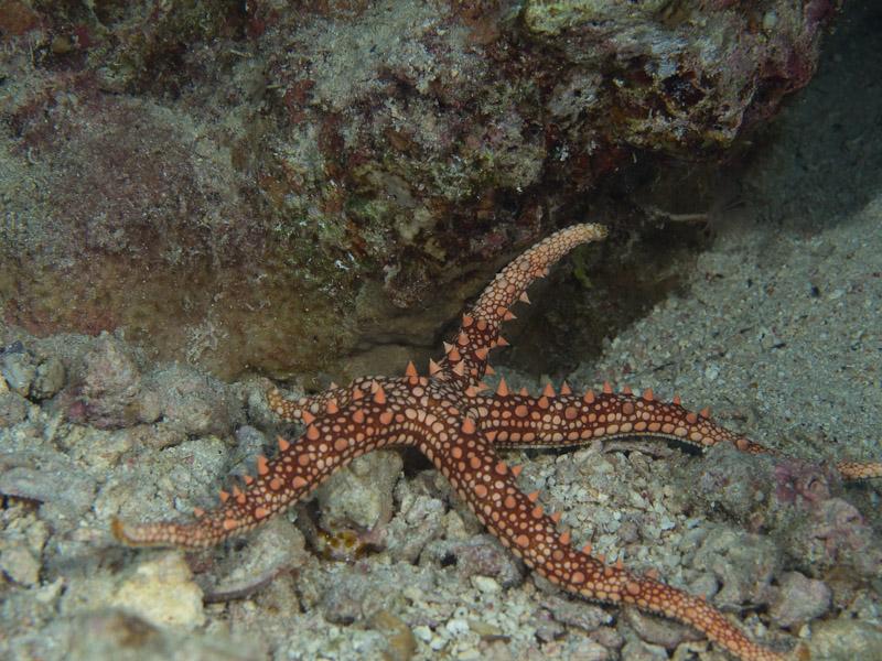 Photo at Els Bells / Blue Hole:  Egyptian sea star