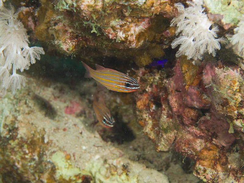 Photo at Moray Garden:  Yellowstriped cardinalfish