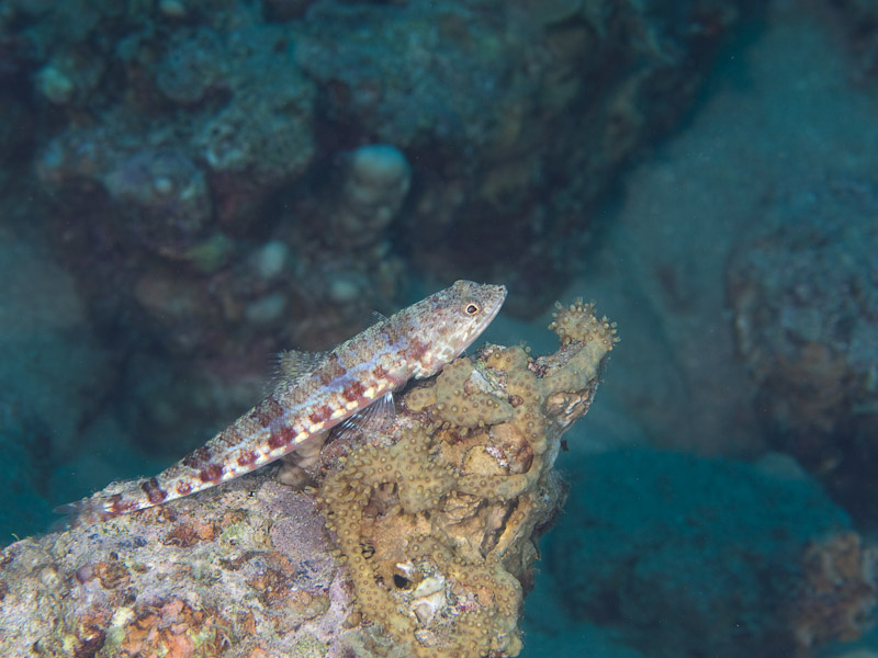 Photo at Moray Garden:  Sand lizardfish