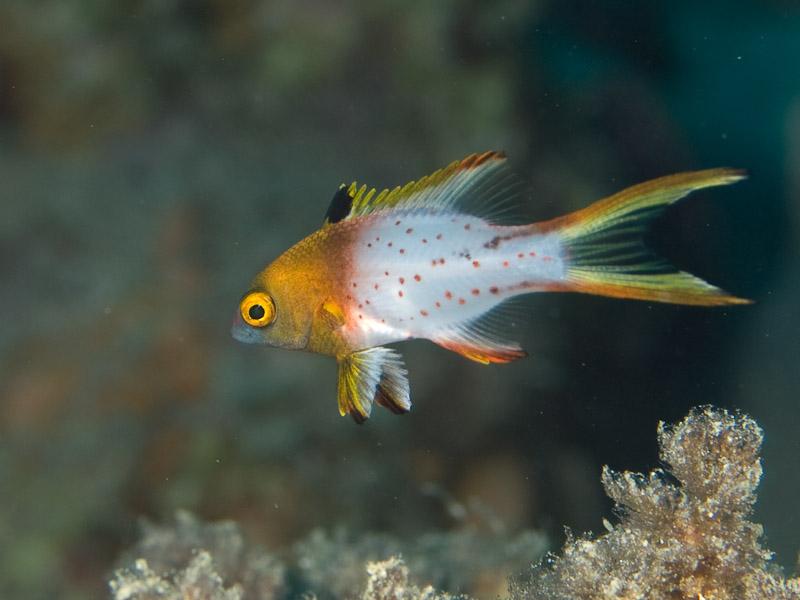 Photo at Moray Garden:  Lyretail hogfish