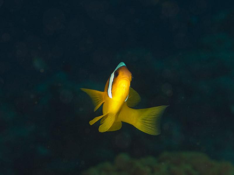 Photo at Moray Garden:  Twoband anemonefish