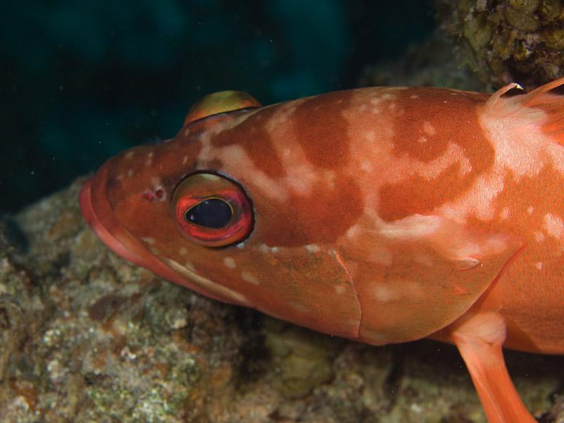 Photo at Moray Garden:  Blacktip grouper