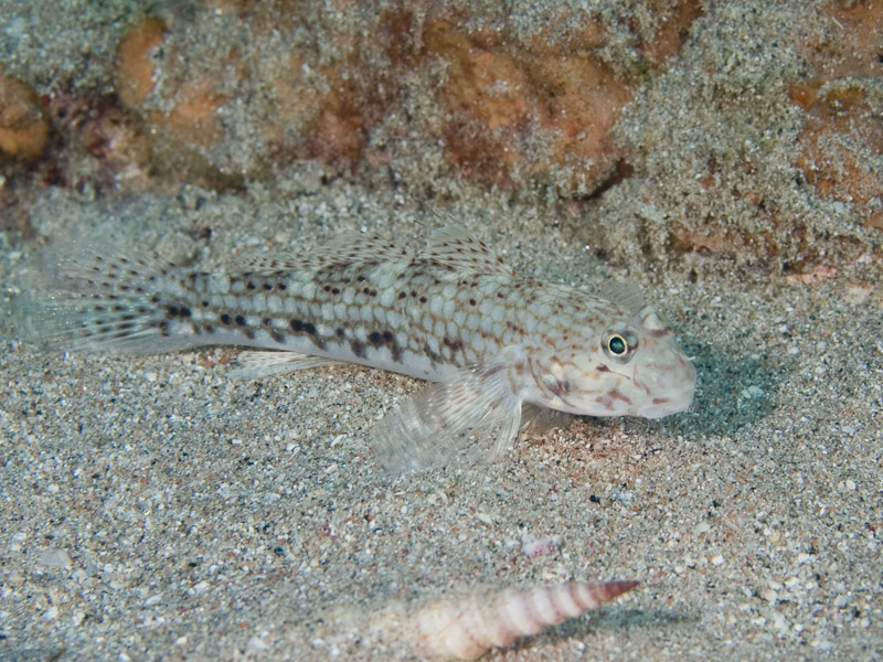 Photo at Moray Garden:  Decorated goby