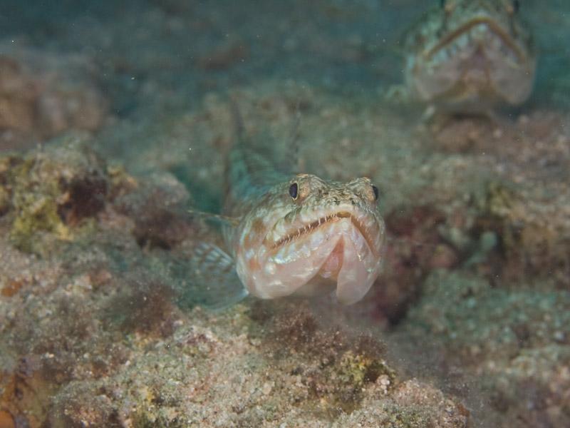 Photo at Moray Garden:  Lizardfish