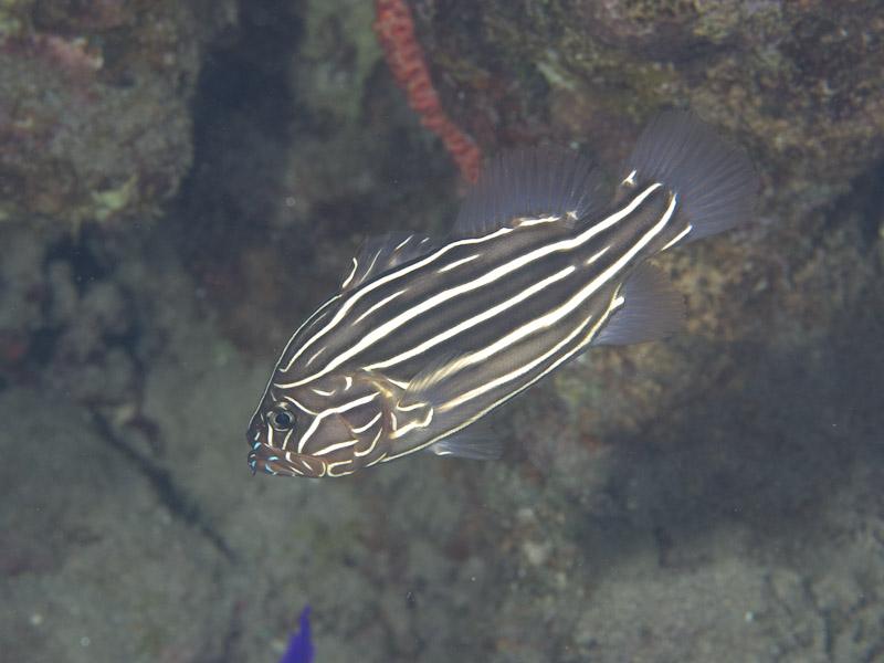 Photo at Moray Garden:  Sixline soapfish