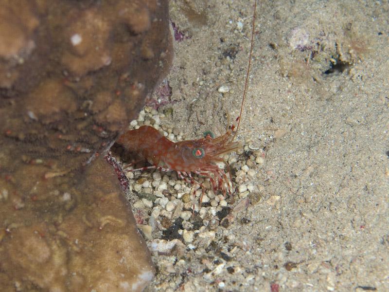 Photo at Lighthouse:  Green-eye dancing shrimp