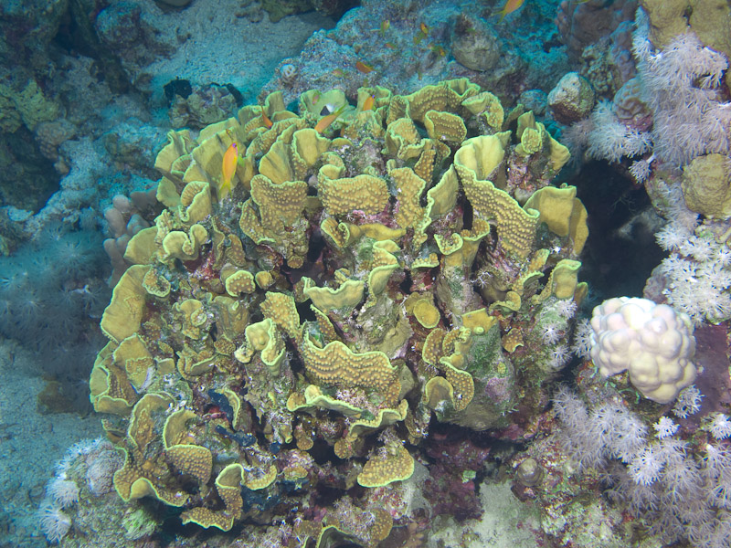 Photo at Blue Hole Coral Garden:  Salad Coral