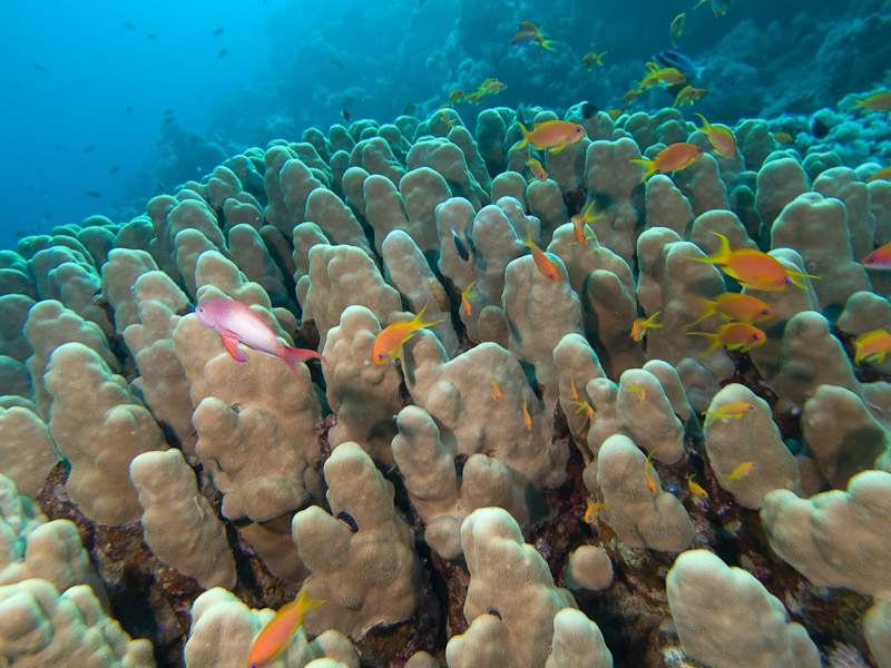 Photo at Blue Hole Coral Garden:  Dome coral,Sea goldie