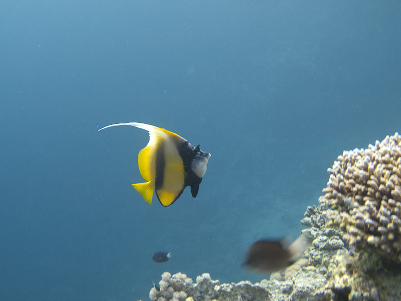 Photo at Blue Hole Coral Garden:  Red Sea bannerfish