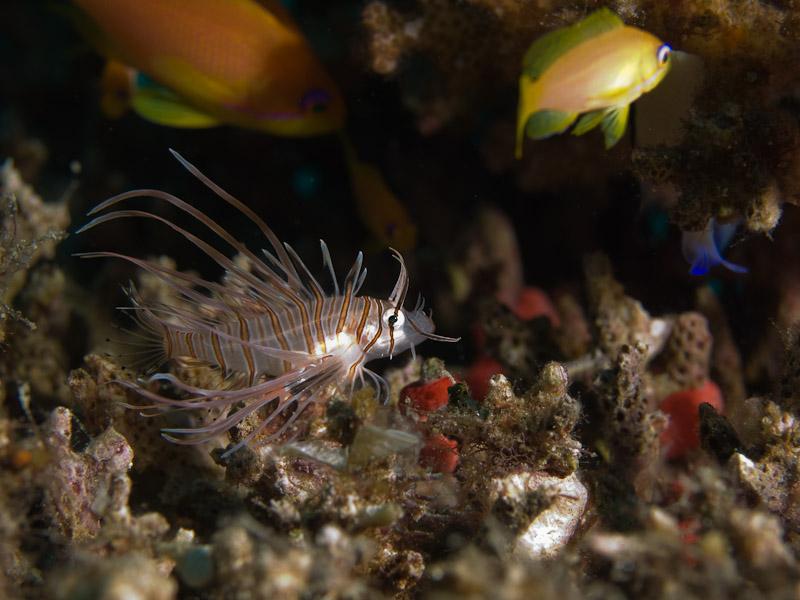 Photo at Eel Garden:  Radial firefish