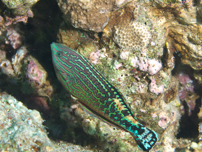 Photo at Eel Garden:  Vermiculate wrasse