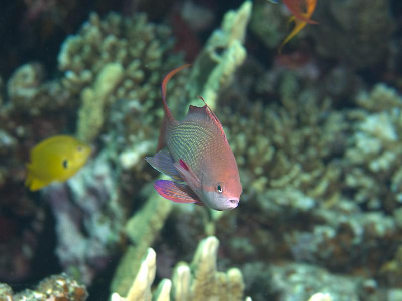 Photo at Eel Garden:  Sea goldie