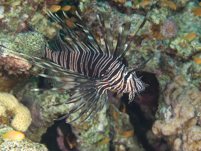 Photo at Rick's Reef:  Devil firefish