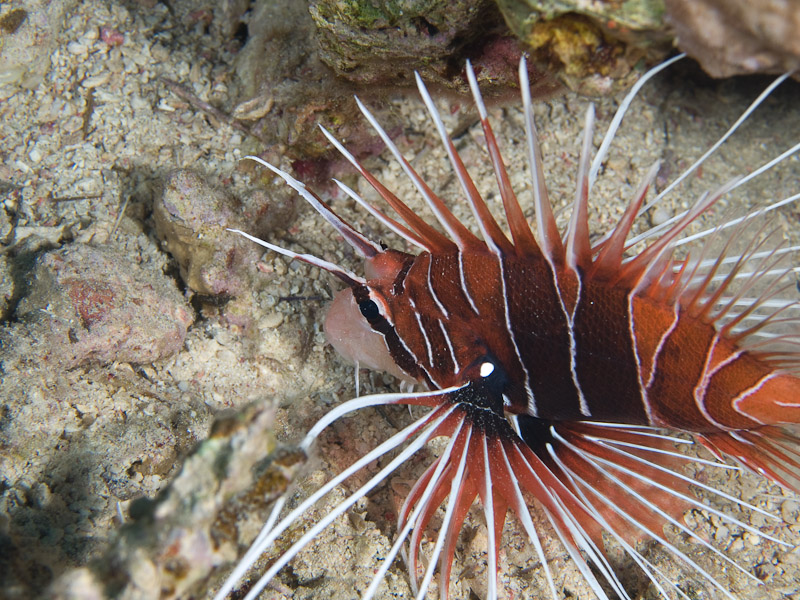 Photo at Rick's Reef:  Radial firefish