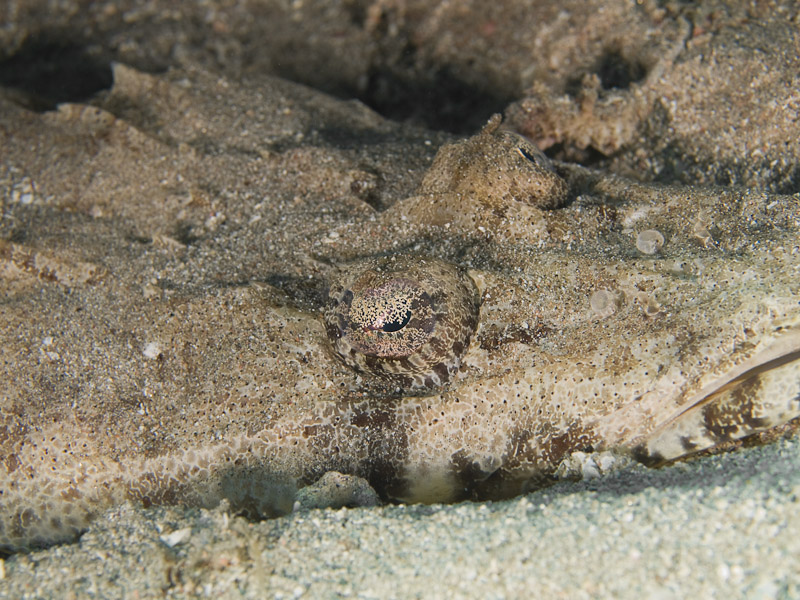 Photo at Moray Garden:  Tentacled flathead