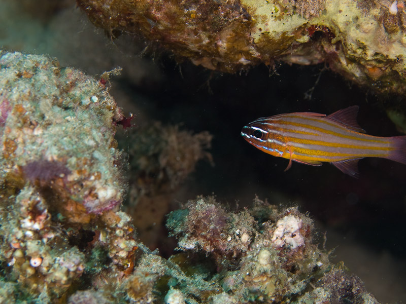 Photo at Um Sid:  Yellowstriped cardinalfish