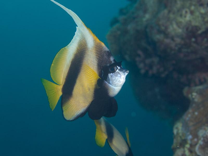 Photo at Um Sid:  Red Sea bannerfish