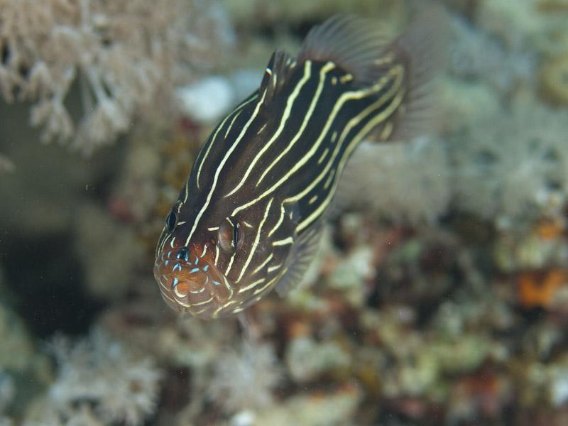 Photo at Um Sid:  Sixline soapfish