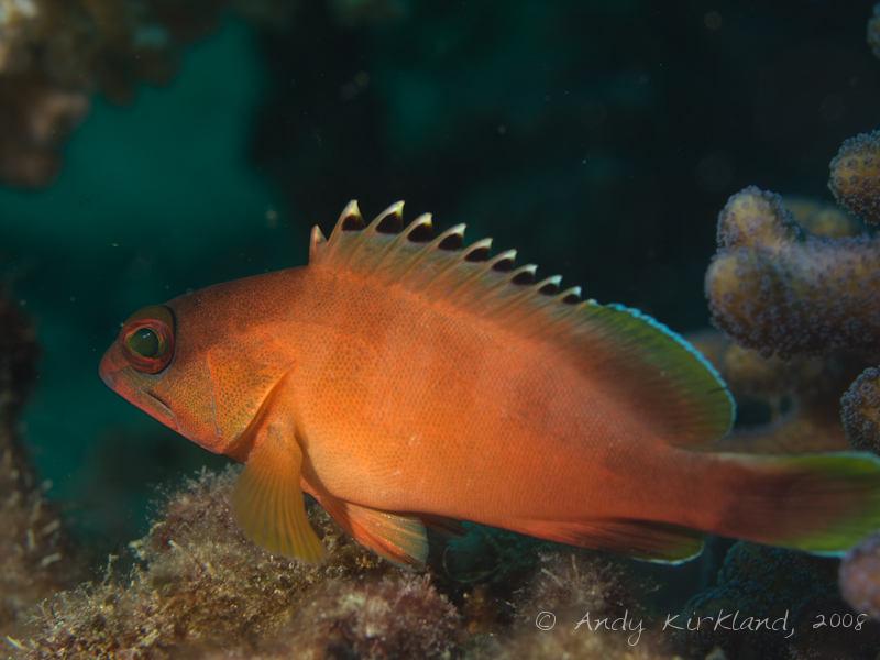 Photo at Lighthouse:  Blacktip grouper