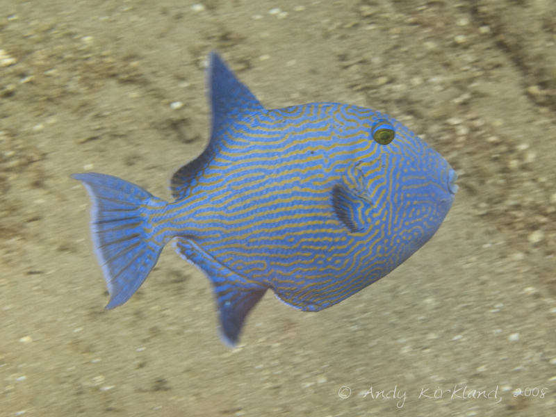 Photo at Lighthouse:  Yellow-spotted triggerfish